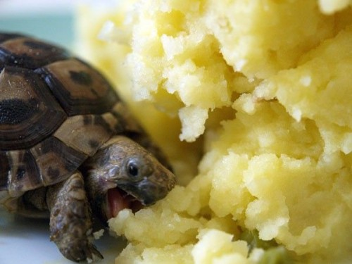 turtle vs potatos 500x375 Turtle Attacking Mashed Potatoes Humor Food Cute As Hell Animals