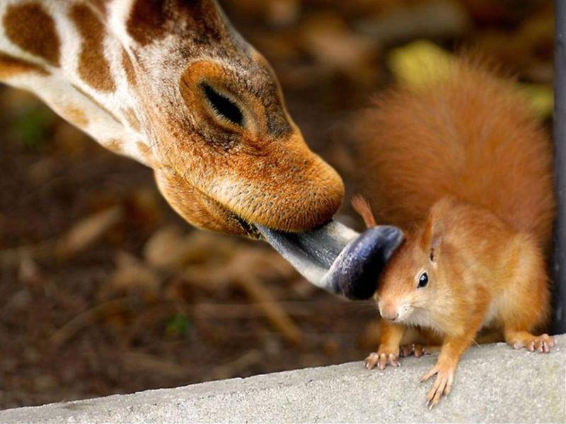 giraffe-licks-squirrel