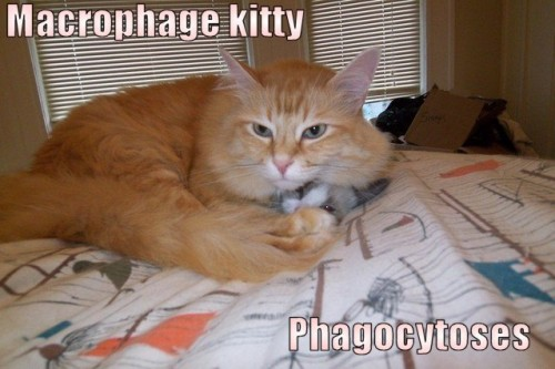 003 2m 500x333 Macrophage kitty Phagocytoses Science! Humor Cute As Hell Animals