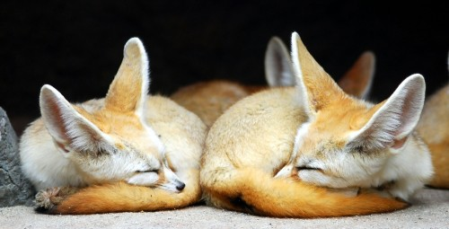 1213036866881 500x255 foxes Wallpaper Nature Cute As Hell Animals