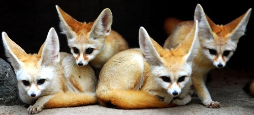 1213036882922 500x226 foxes Wallpaper Nature Cute As Hell Animals