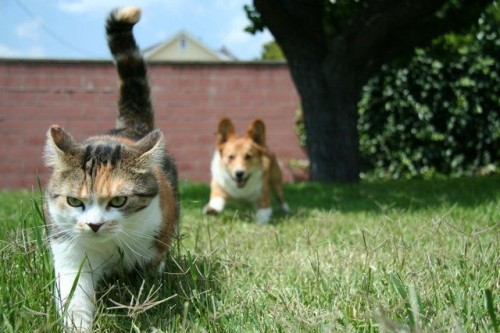 78314507 500x333 One Corgi Vs One Pissed Off Cat Cute As Hell Animals