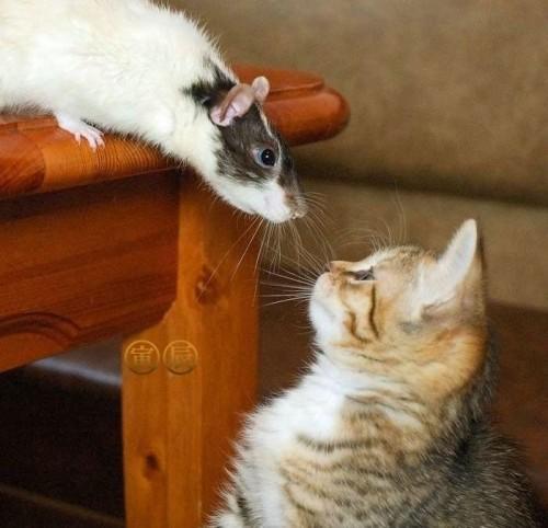 78314591 500x482 Cat vs Rat Cute As Hell Animals