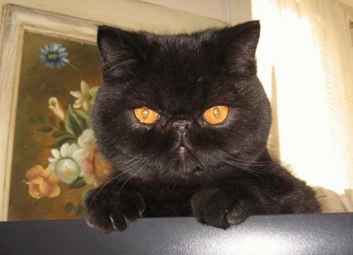 diabeetus cat