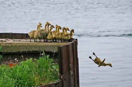 duck jumper 500x333 Suicidal Duck Humor Cute As Hell Animals