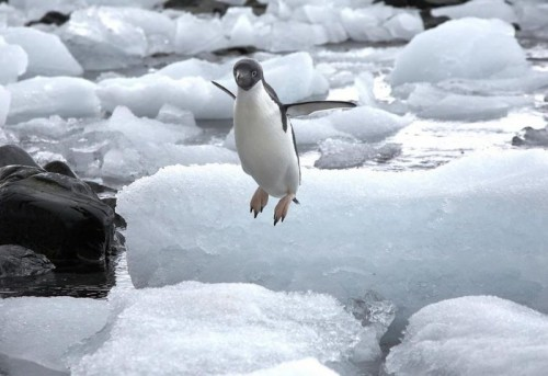 flying penguin 500x343 Flying Penguin  wtf Cute As Hell Animals