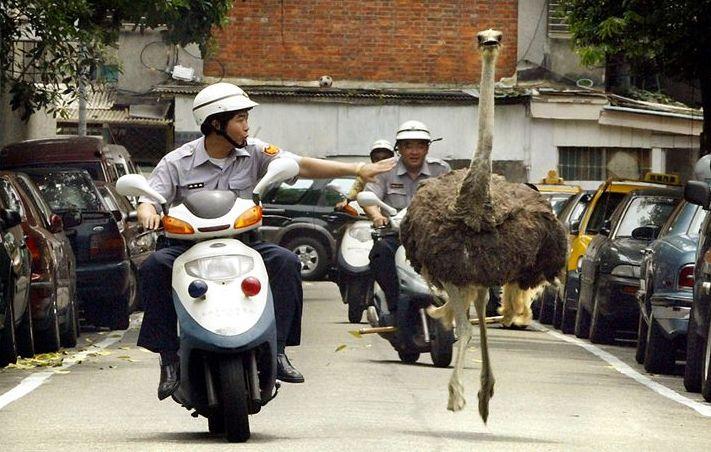 ostrich-catchers