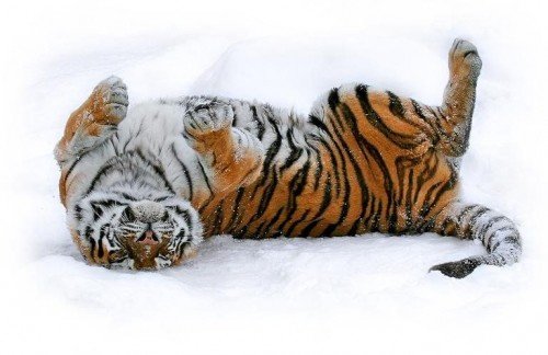 snow tiger 500x324 A Tiger in the snow Cute As Hell Animals