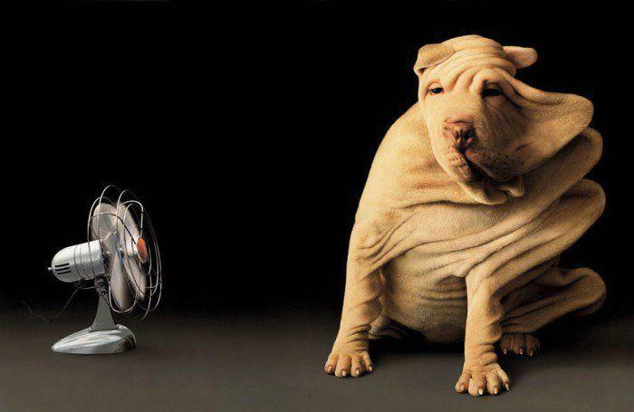 Dog With Fan : Wrinkley dog vs fan « myconfinedspace