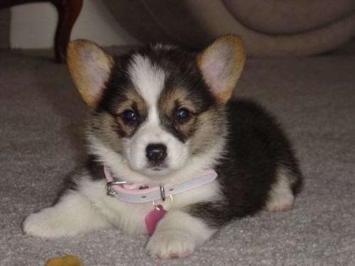 cute puppy - pink collar