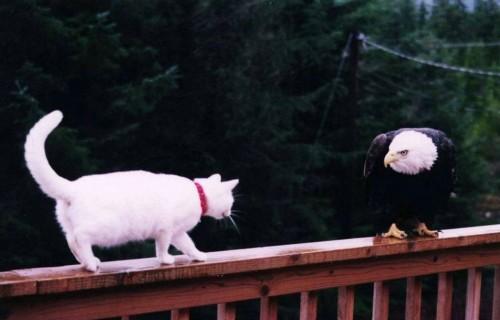 eagle cat 500x320 eagle cat wtf lolcats