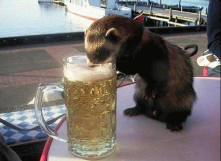 otter drinking beer otter drinking beer
