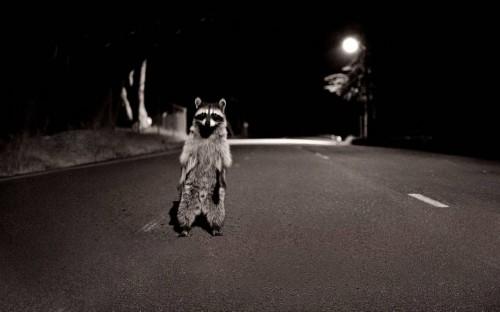 racoon in road