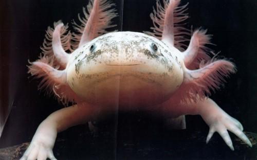 Axolotl close up