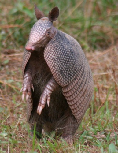 armadillo 386x500 Armadillo Cute As Hell Animals