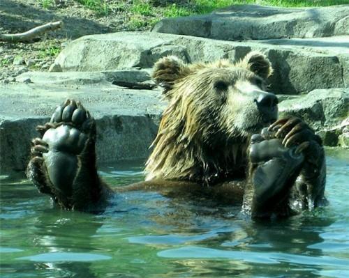 bear feet 500x399 Bear Feet Humor Cute As Hell Animals