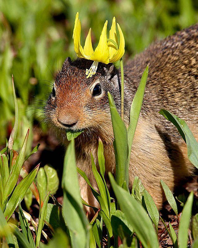 King squirrel