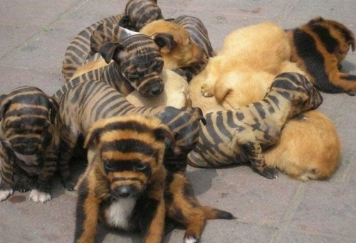 Stripped Puppies