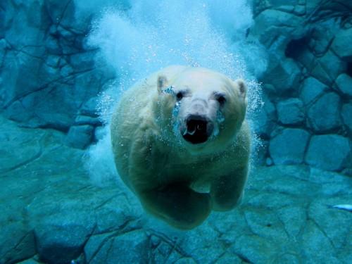 polar bear diver 500x375 polar bear diver Nature Cute As Hell Animals