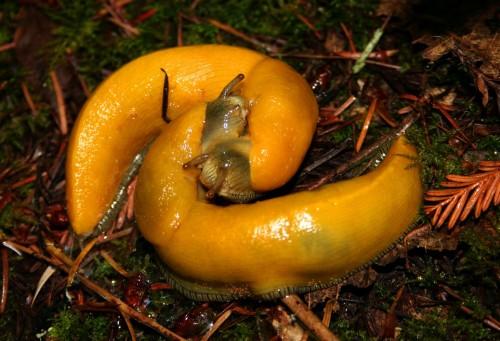 snails fucking