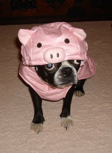 piggy dog