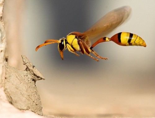 Wasp Going Home