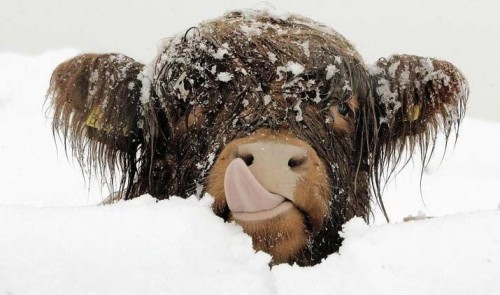 Icey Cow