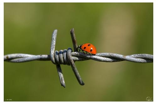 barb wire vs ladybug