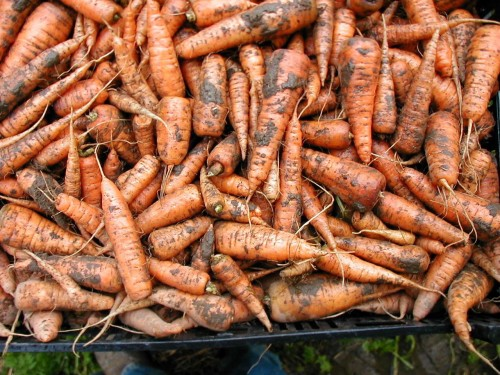 Dirty Carrots
