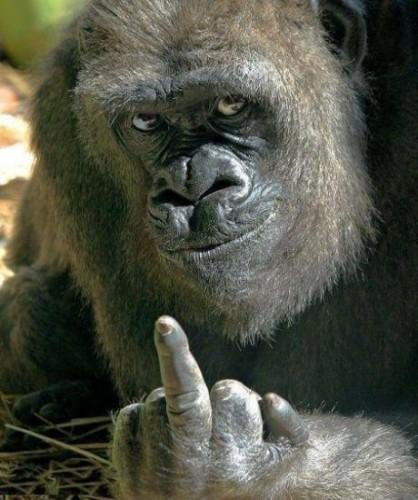 gorilla Giving The Finger