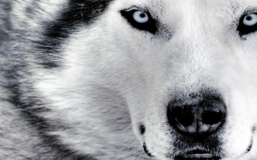 husky eyes 500x312 husky eyes Wallpaper Nature