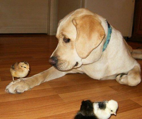 Lab vs Chick