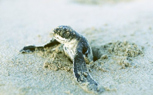 Sea Turtle Sprout