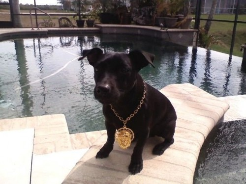 dog with bling