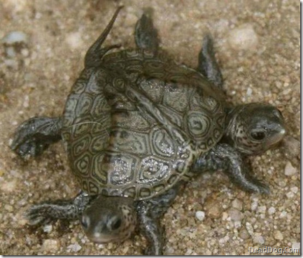 image Two Headed Turtle Cute As Hell Animals