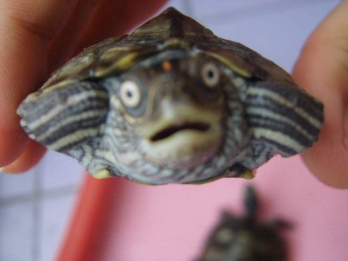 shocked turtle