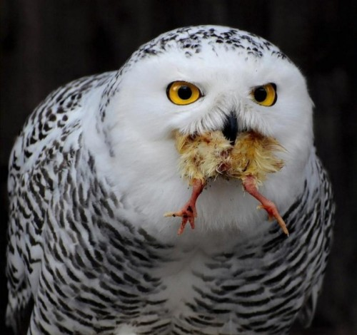owl w food 500x470 Tweety, Is that you? Nature Cute As Hell Animals