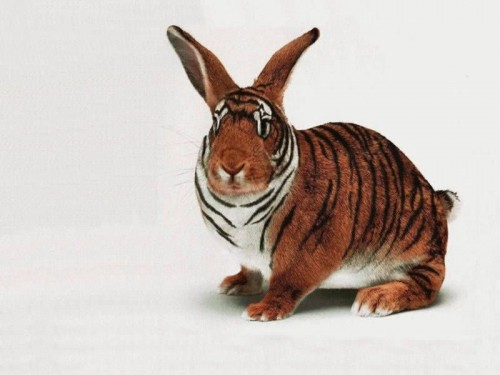 tiger bunny 500x375 tiger bunny wtf Cute As Hell Animals