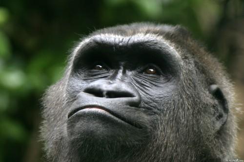 monkey looks up