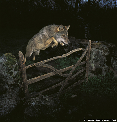 1 Three Wolf Jump (+Moon) Memes Humor Art