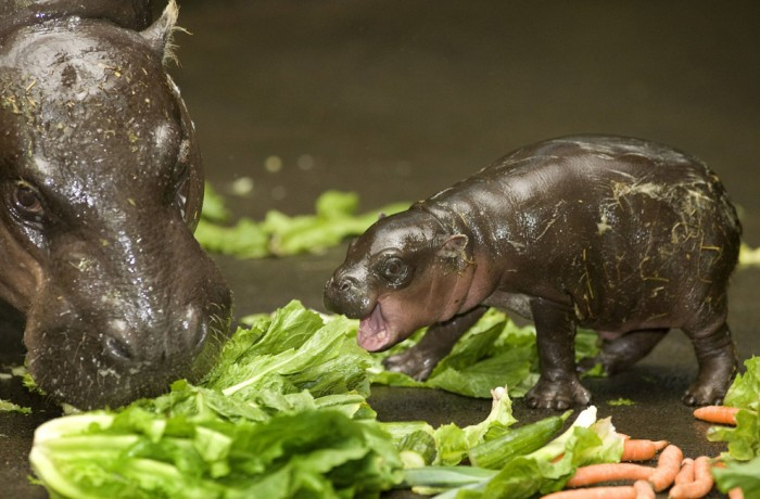 baby hippo eating