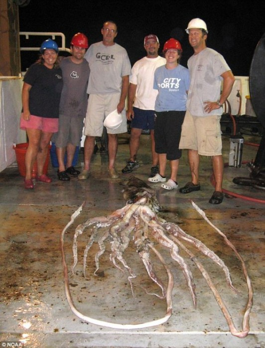 massive squid
