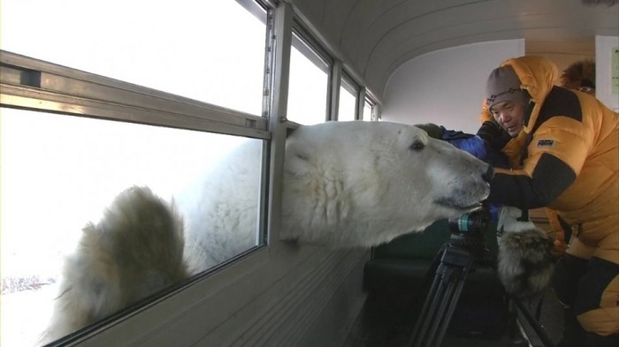 polar bear window