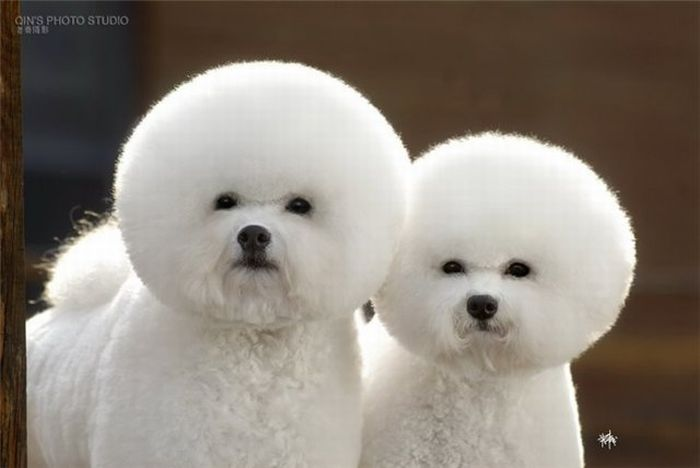 puff dogs puff dogs wtf Cute As Hell Animals