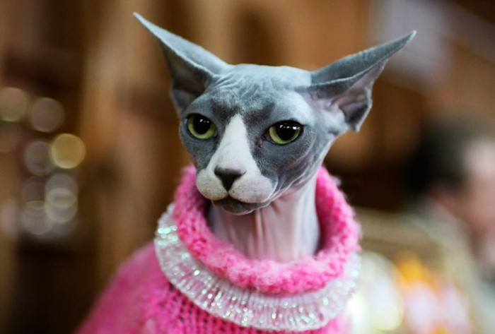 fancy cat with no hair 700x473 fancy cat with no hair