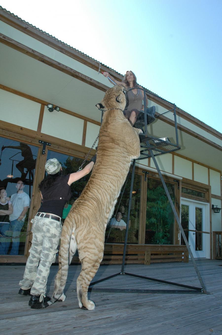 tiger feeder