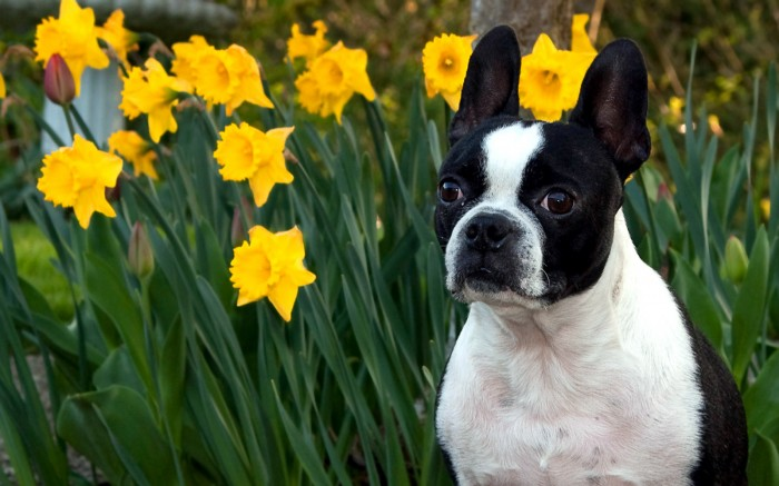 tulip dog 700x437 tulip dog Wallpaper Cute As Hell Animals