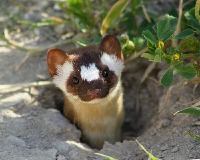 weasels are cute