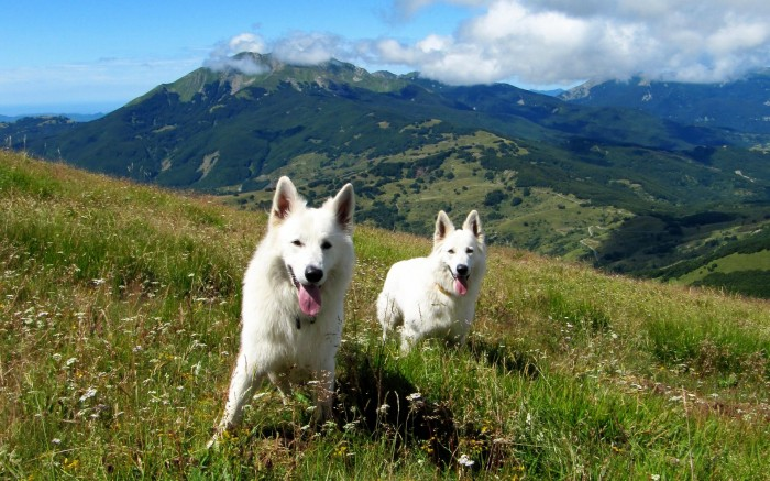 white doggies in the mountains 700x437 white doggies in the mountains