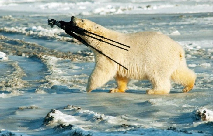 polar bear photographer